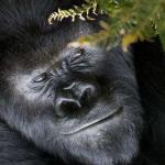 東山動物園のゴリラシャバーニよりイケメンのハオコとビンドンって